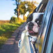 Safety Tips for Pets in Cars During Summer