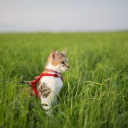 How to Train Your Cat to Walk on a Leash | Hastings Veterinary Hospital